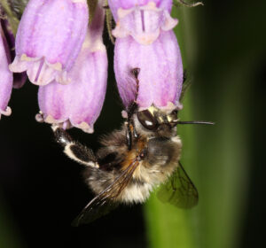 Die Pelzbiene Anthophora plumipes, hier ein Männchen, ist ein häufiger Besiedler von Gärten