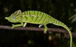 Weibchen des Voeltzkow-Chamäleons in der Prachtfärbung